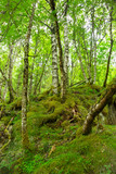 Thick wild forest in Norway in the summer.
