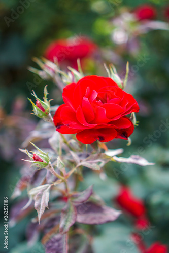 Beautiful Red flower in grassy field close up © Nicholas