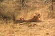 Lions Kruger National Park Afrique du Sud