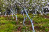 Whitewashing of fruit trees.