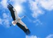 Leinwandbild Motiv weißer Storch fliegt unter der Sonne am blauen Himmel
