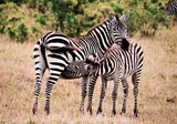 Baby zebra feeding off mother