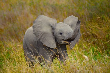 Baby elephant playfully swinging trunk © Phoebe