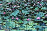 Lotus swamp