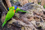 pair of green lory parrots, searching for feed in tree trunk