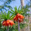 canvas print picture - Blühende Kaiserkronen, Fritillaria imperialis