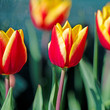 Blühende Tulpen, Tulipa - 262604797