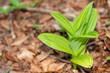 canvas print picture - frische grüne Blätter auf Waldboden im Frühling