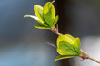 canvas print picture - frisch aufgeblühte Knospen auf Ast im Frühjahr