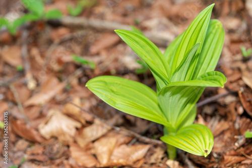 canvas print picture frische grüne Blätter auf Waldboden im Frühling