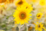 Summer  background with  sunflowers. Field of sunflowers.