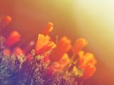 wild orange poppy flowers field.
