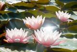 Beautiful lotus flowers in the pond, symbol of Buddha