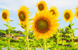 Sunflowers blooming  on blue sky background ,fresh & daylight summer concept.