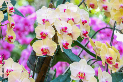 Yellow orchid flowers in garden for background - 262707579