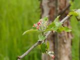 Boutons floraux du pommier domestique (Malus domestica)
