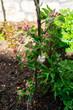 canvas print picture - Blüten und Knospen bei einem Säulenapfel im Frühling