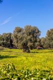 Olivenbaumplantage in Italien