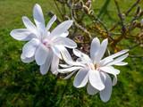 magnolia blossoms tree