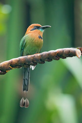 Broad-billed motmot (Electron platyrhynchum) is a species of bird in the family Momotidae. It is found in Bolivia, Brazil, Colombia, Costa Rica, Ecuador, Honduras, Nicaragua, Panama, and Peru.
