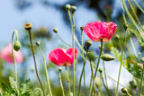Pink poppy flowers buds and pods blossom in the park