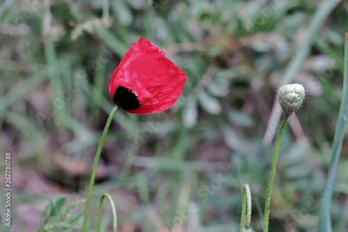 beautiful red poppy in green grass in a field - 262780788