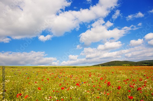 Poppies on blue sky background. - 262792983