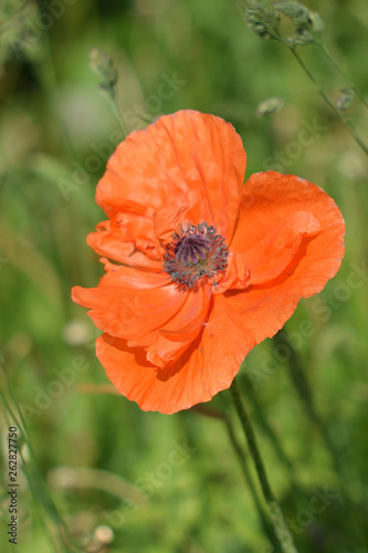 Poppy in the clouds - 262827750