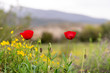 canvas print picture - Wonderful poppy field in late may