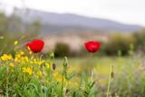 Wonderful poppy field in late may