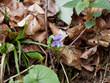 Viola reichenbachiana - Violette des bois ou violette de Reichenbach