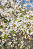 White cherry blossom flowers in the Spring