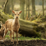 Wild young deer in the spring sunny forest, Klampenborg Denmark