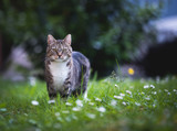 tabby domestic shorthair cat standing on the lawn looking at camera surrounded by daisies
