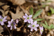 Anemone (hepatica) wildflowers blooming in their natural woodland habitat in springtime