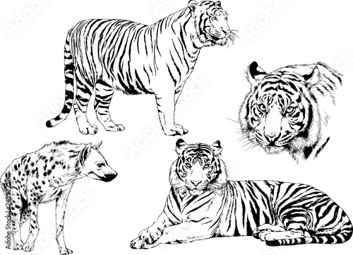 set of vector drawings on the theme of predators tigers are drawn by hand with ink tattoo logos - 262922300