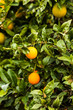Green tree with raw growing oranges