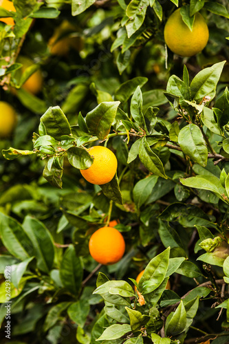 canvas print picture Green tree with raw growing oranges
