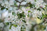 closeup of apple tree blossom at spring