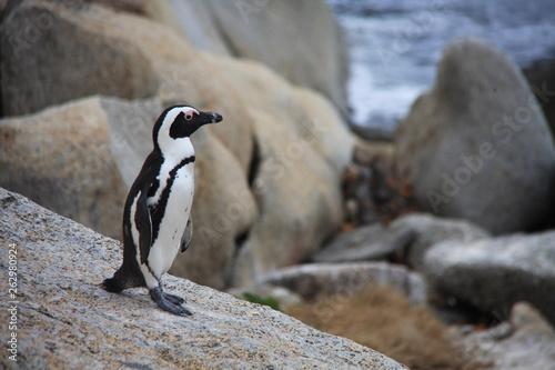 Fototapeten Pinguine un manchot sur Boulders Beach en Afrique du Sud