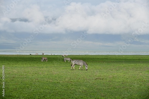 canvas print picture Zebra