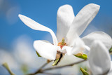 Blossoming magnolia tree in spring