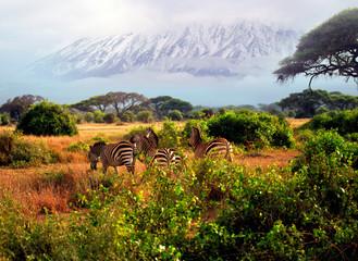 Wild zebras in Tsavo National Park. Kenya