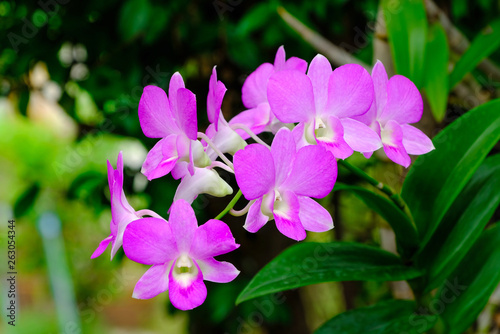 Beautiful pink Dendrobium orchid flowers with natural background, soft focus