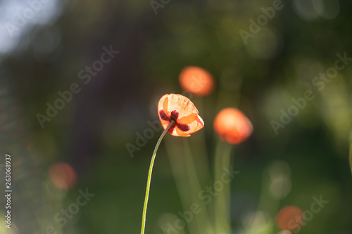 Field poppies flowers - 263068937