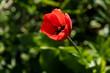 Leinwanddruck Bild - rote Tulpe von oben