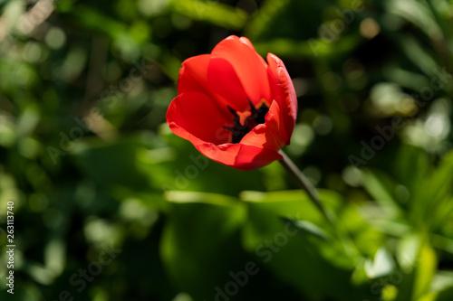 Leinwanddruck Bild rote Tulpe von oben