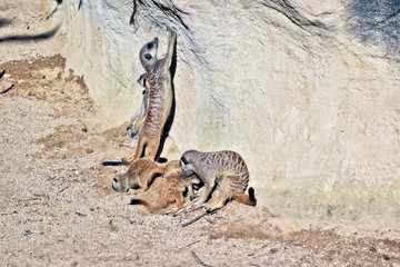 a meerkat family