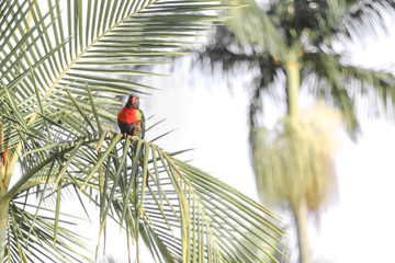 one rainbow lorikeet perching on the palm leaf tropical summer © QuickStartProjects