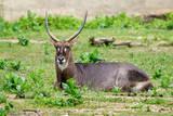 Image of Common Waterbuck (Kobus ellipsiprymnus) relax on the grass. Wildlife Animals.